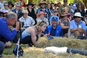 Ferret Racing at Henley on Mersey Australia Day Latrobe Council Tasmania